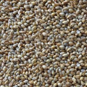 Naatu Kambu Pearl Millet Bajra Gantilu Sajje (கம்பு) W